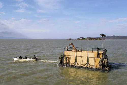 طریقه جالب انتقال یک زرافه از رود بارینگو در کنیا
