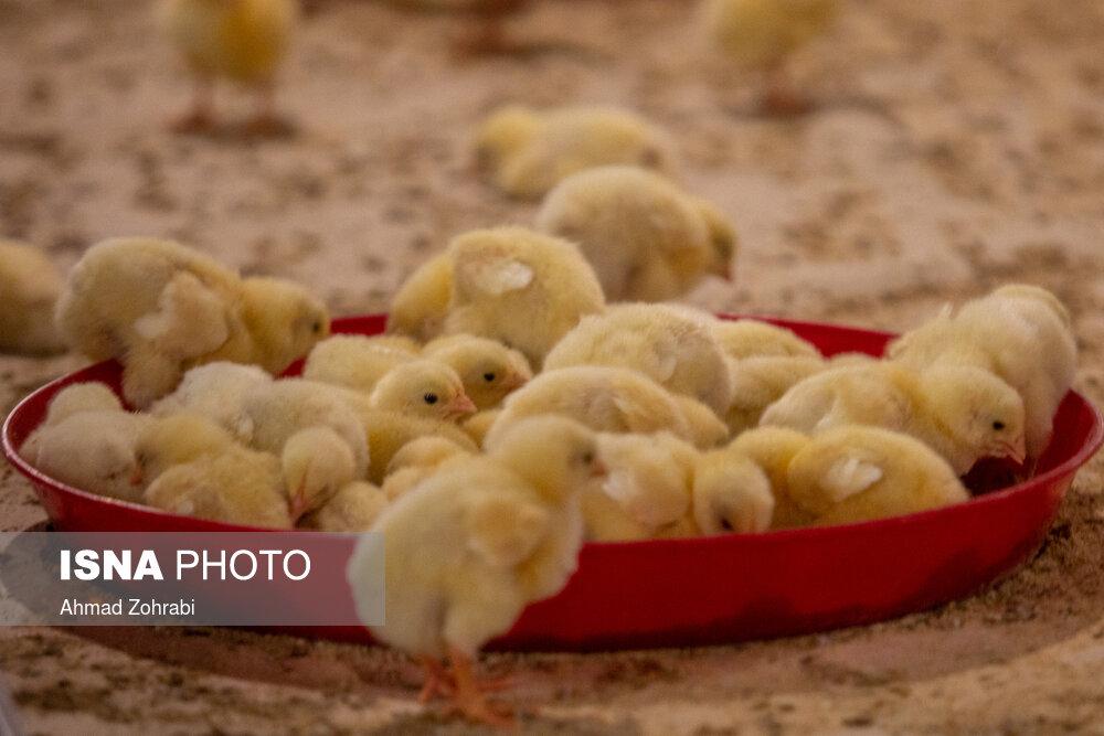 عکس/ ماجرای «مرغ»؛ تولید کننده و مردم هر دو ناراضی