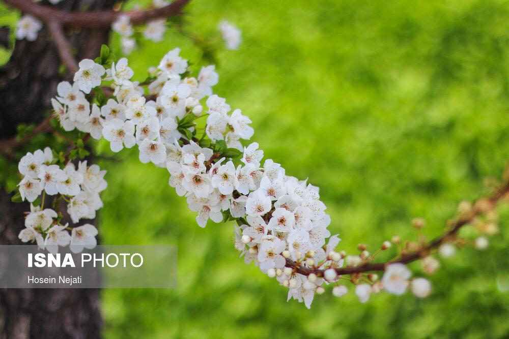 شکوفه های بهاری آذربایجان شرقی