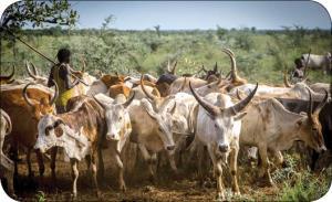 سودان جنوبی؛ کشوری پُرگاو!