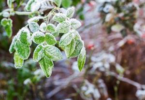 سرمازدگی به ۱۰ هزار هکتار از باغات مرکزی خسارت زد