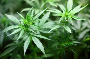 مصرف ماریجوانا به نقص بینایی منجر میشود