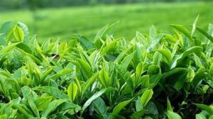 برداشت برگ سبز چای از اول اردیبهشت آغاز میشود