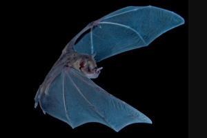 سفر به ۳۴۰۰ سال قبل با بررسی مدفوع خفاش!