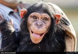 لحظه رهایی شامپانزه و ابراز تشکر و خوشحالی
