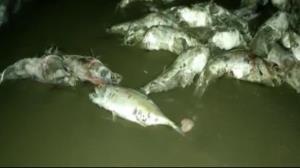 مشاهده دوباره لاشه گربه ماهیها در ساحل جاسک