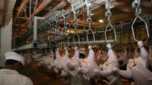 ارسال مرغ زنده بهشهر به کشتارگاهها