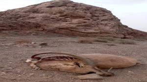 یوزپلنگ در پناهگاه حیات وحش دره انجیر خودنمایی کرد