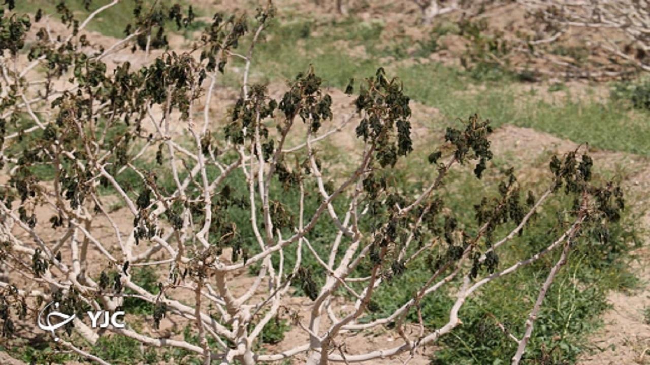 افزایش ۳ برابری خسارت به باغات یزد نسبت به سال قبل