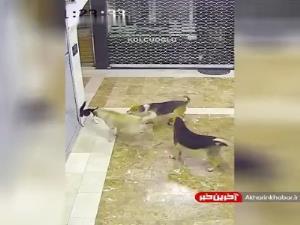 دفاع یک گربه مادر از بچه اش در برابر سه سگ!