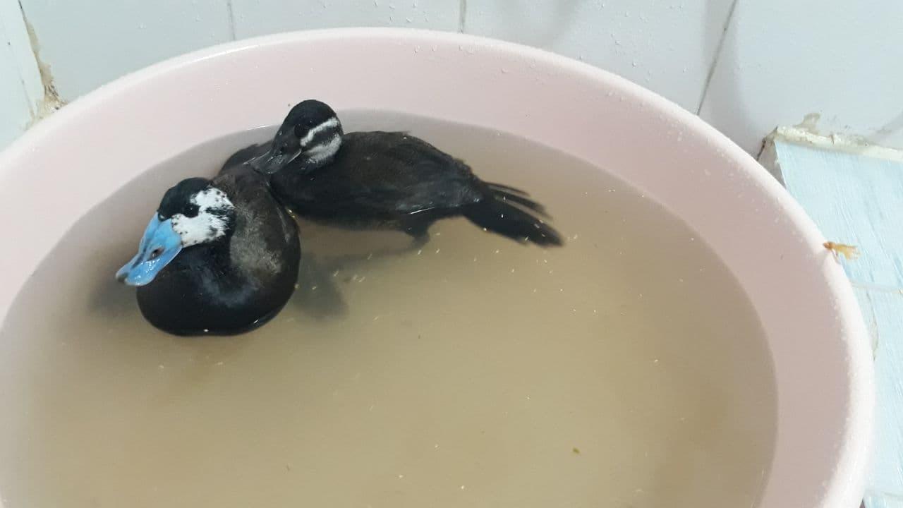 نجات یک جفت گونه در خطر انقراض اردک سرسفید در مهاباد