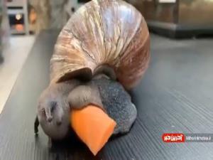 هویج خوردن جالب حلزون
