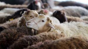 استخوان گوسفندان قاچاق در گلوی راننده وانت