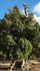 سرو ۲۷۰۰ ساله البرز شکست