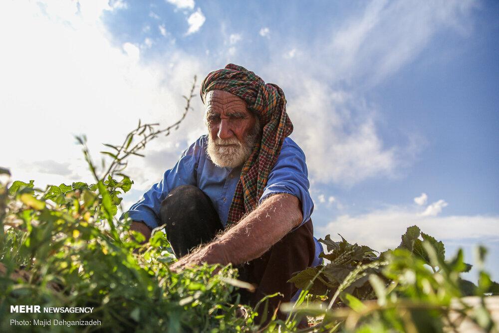 پیرمرد 80 ساله ای که با کار طاقت فرسای کشاورزی روزه داری می کند!