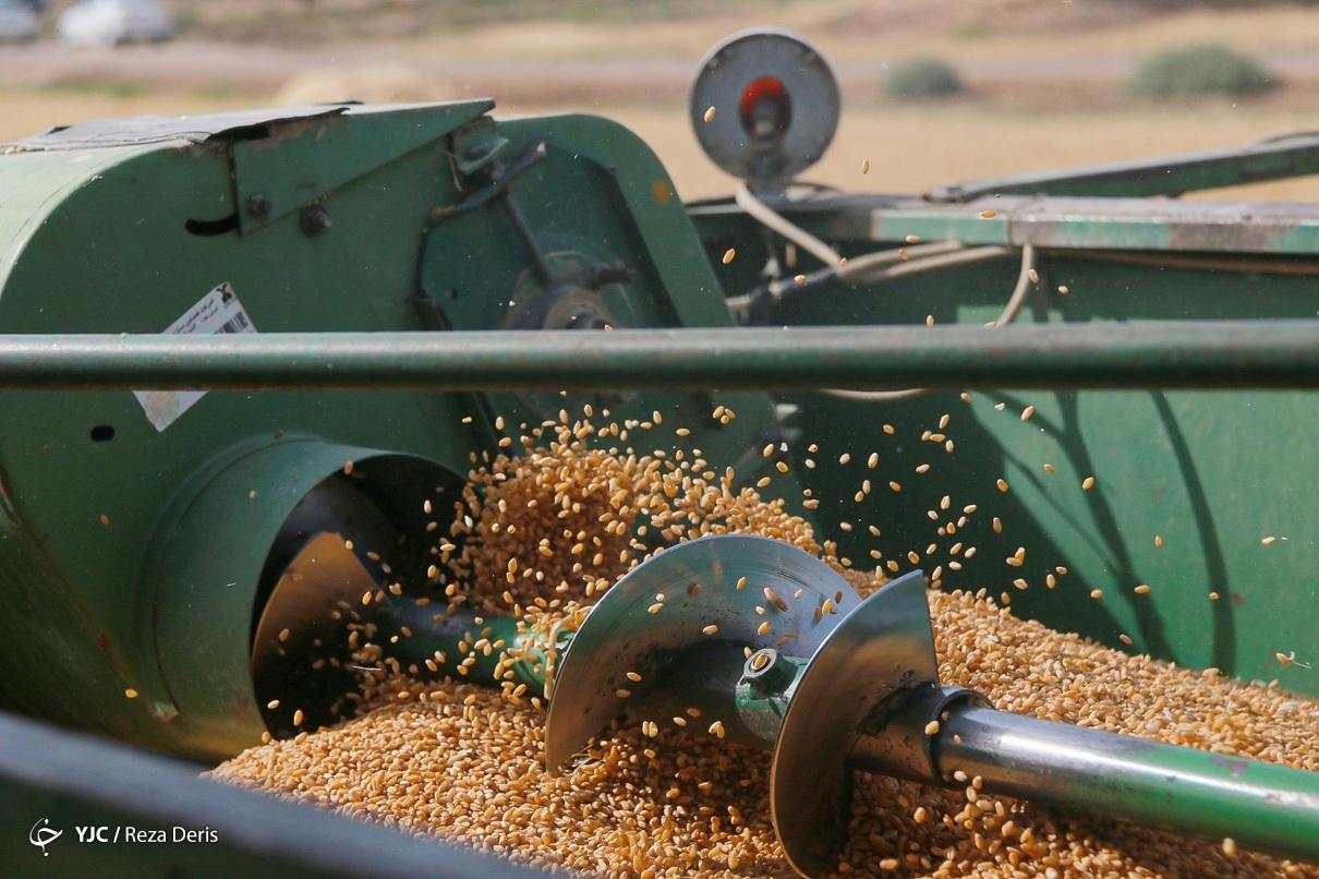 برداشت خوشههای گندم
