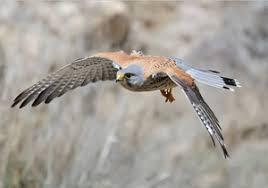 رهاسازی پرنده شکاری دلیجه در تالاب گندمان