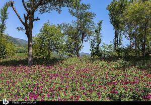 عکس/ برداشت گل گاو زبان در گیلان