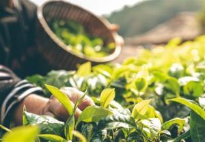 گیاهان دارویی، ظرفیتی ثروت آفرین در ایلام