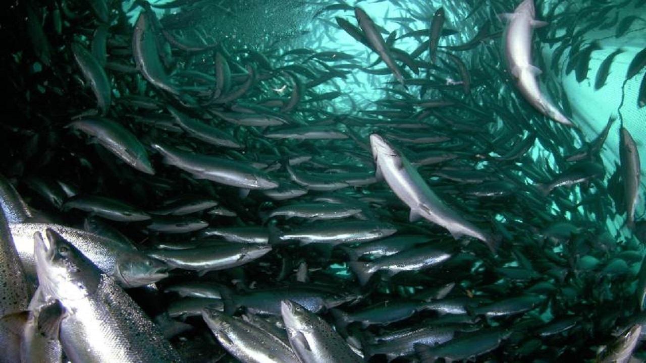 تولید بیش از ۱۰۰۰ تن ماهی در واحدهای پرورشی