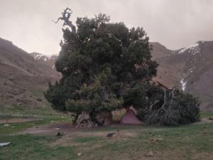 باد، برف و انسان، عوامل شکستن یک درخت ۲۷۰۰ ساله در البرز