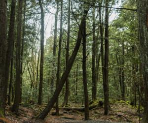 جنگل عجیبی در ژاپن که در آن هوس مرگ می کنید!