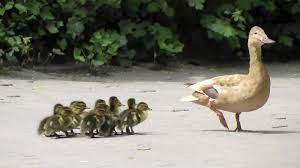 آموزش شیرجه به جوجه اردکها