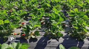 تصاویری از برداشت توت فرنگی در مزارع گلستان
