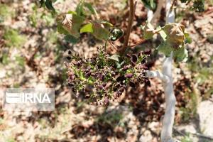 سرما ۱۵۰۰ میلیارد ریال به کشاورزی شازند خسارت زد