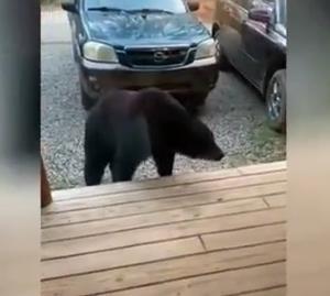 ورود خانواده خرس های سیاه به یک خانه جنگلی