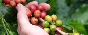 کشف گونهای از قهوه که تصور میشد منقرض شده
