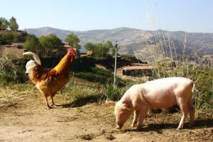 ایجاد مرغ و خوک با کمک قیچی ژنتیکی