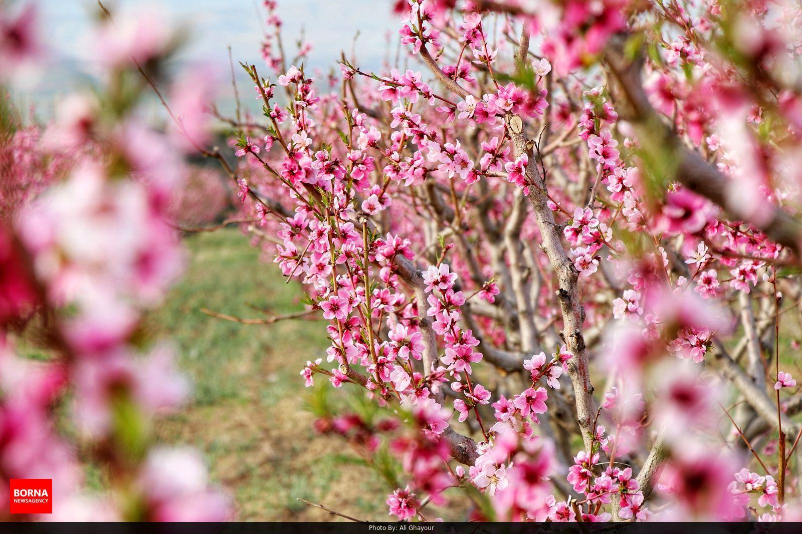 باغی از شکوفه های صورتی از درختان هلو و شلیل