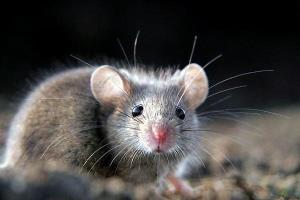 ماهیگیری موش ها رو دیده بودین؟