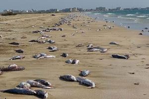 معمای مرگ گربهماهیان در سواحل جاسک