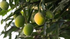 درخت عجیبی که ۳۰۰ نوع میوه انبه تولید میکند
