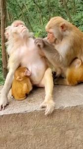 ویدئویی دیدنی از عادت جالب در میان میمون ها