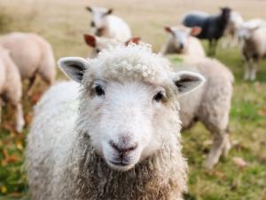 چرای گوسفندان در مزارع پیاز خوزستان