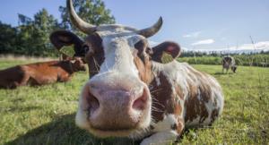 چند نمونه گاو باهوش ببینید