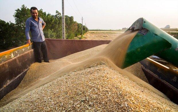الزام ثبت گندم خریداری شده از کشاورزان در سامانه خرید تضمینی