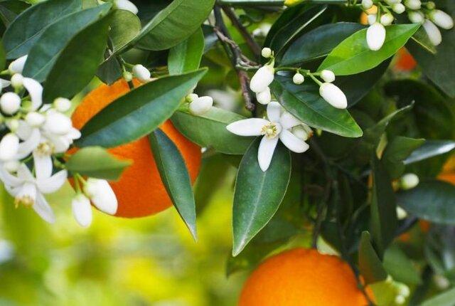 چرا باید نارنج باقیمانده درختان سریعتر برداشت شود؟