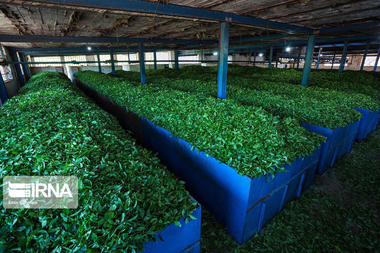 خرید تضمینی برگ سبز چای در گیلان آغاز شد
