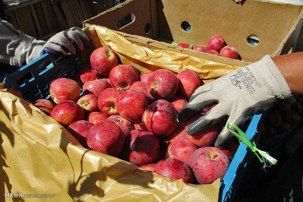 دپوی ۷۵ هزار تن سیب در آذربایجانغربی