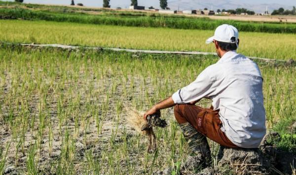 کشت برنج در شهرستان صحنه ممنوع است