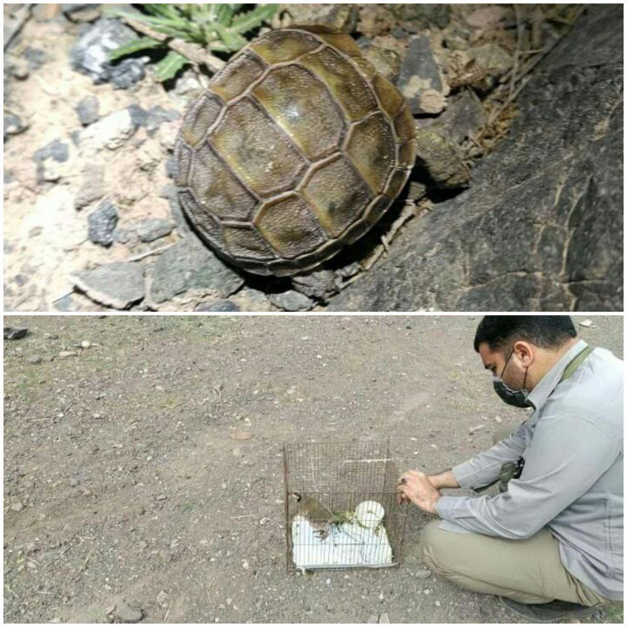 رهاسازی ۲ قطعه لاکپشت مهمیزدار و یک قطعه کبک در حیات وحش یخاب