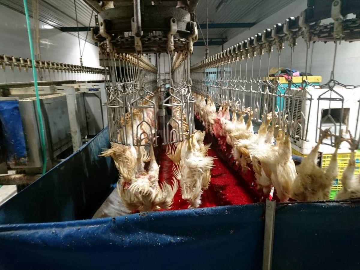 شناسایی کشتارگاه مرغ متخلف در کرمانشاه