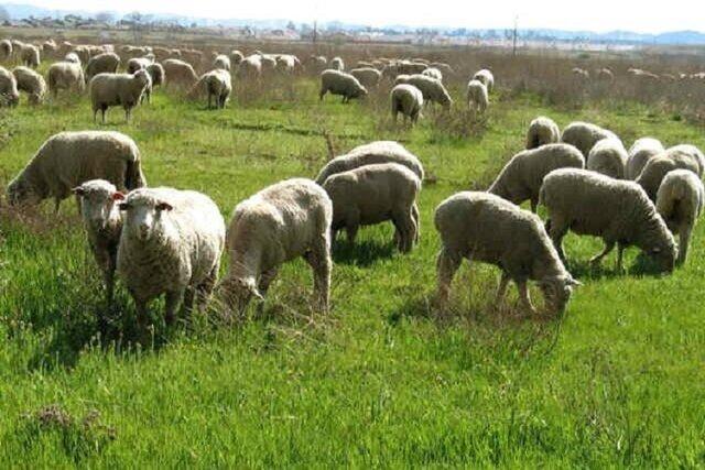 خشکسالی پای دام های سایر استانها را به مراتع خراسان شمالی باز کرد