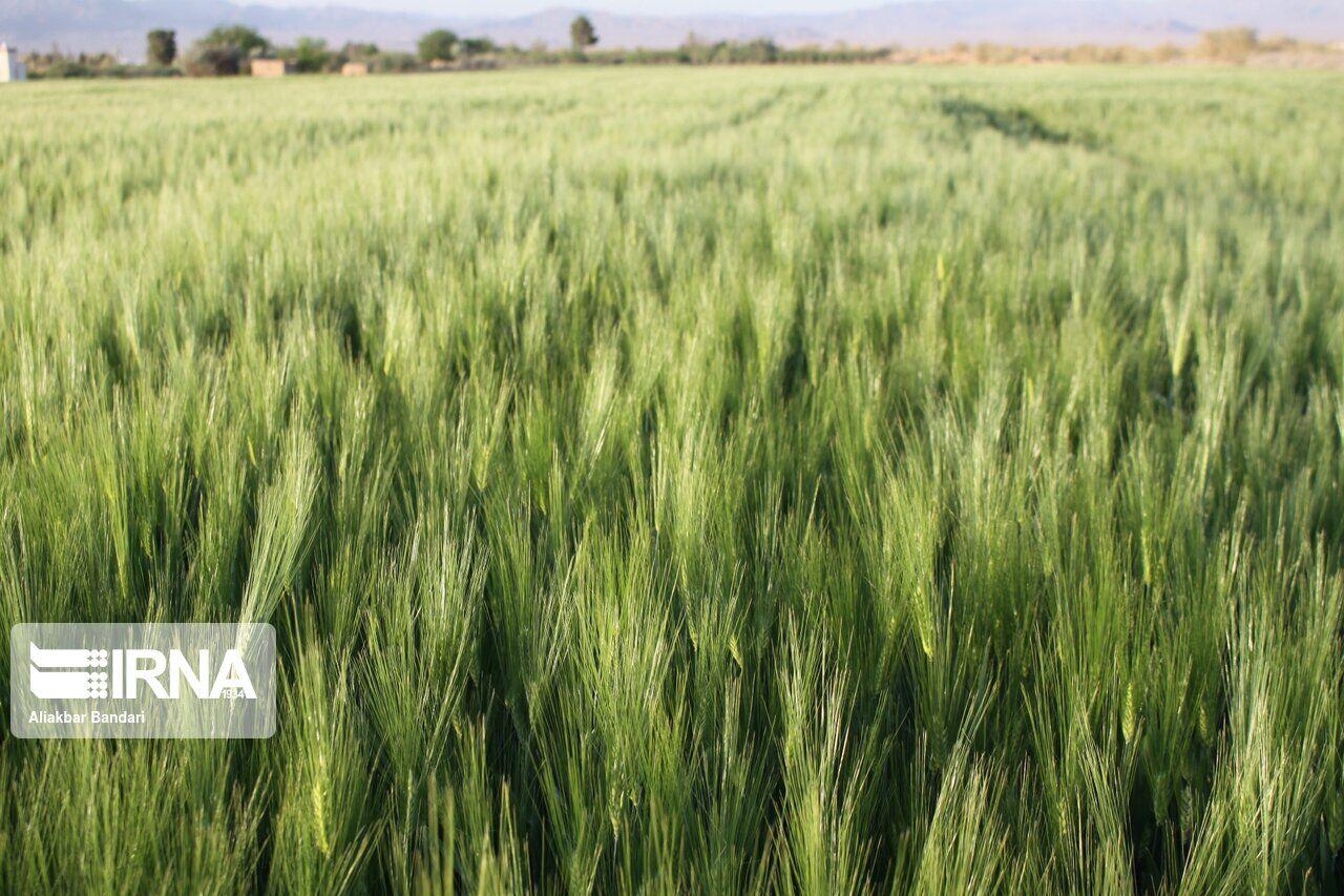۴۰۰۰ هکتار از مزارع گندم و جو مریوان آلوده به آفت است