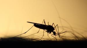 اصلاح ژنتیکی پشهها برای کاهش میزان انتقال بیماری
