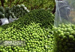 ممنوعیت خوردن گوجه سبز برای 3 گروه
